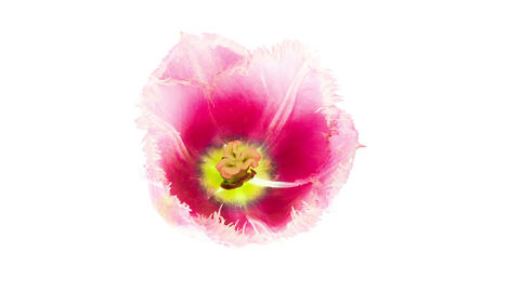 Pink fringed tulip flower blooming timelapse top view Footage