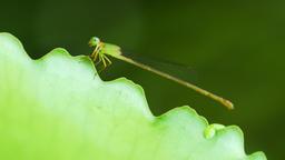 Dragonfly on lotus leaf Footage