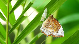 Butterfly on leaf Live Action