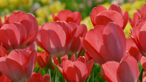 Tulip 06 ライブ動画