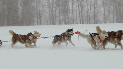 Husky Sled Dogs 1