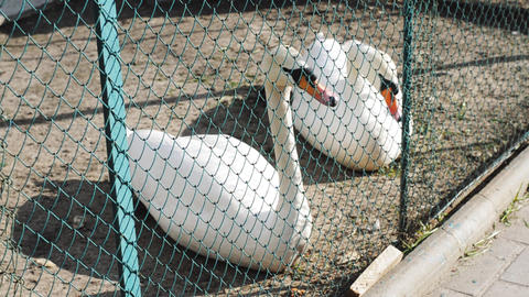 Two white swans are basking in the yard behind the bars Footage