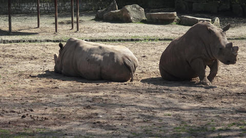 Two southern white rhinoceros (Ceratotherium Simum Simum) resting at rest Live Action