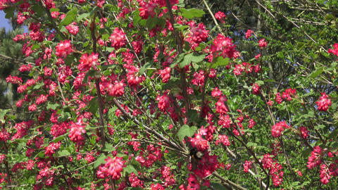 Bumblebee flying to a flowering currant (Ribes sanguineum) Archivo