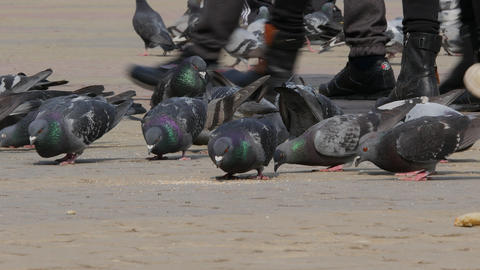 Huge Flock of pigeons eating bread outdoors in the city…, Live Action
