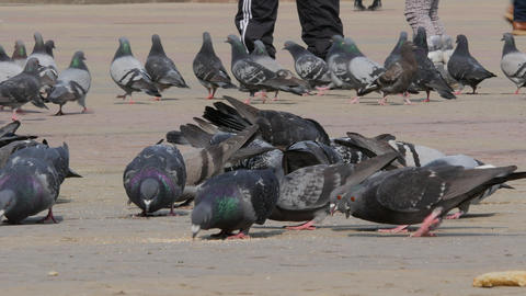 Huge Flock of pigeons eating bread outdoors in the city park. Lot of pigeons eat Live Action