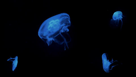 Blue Jellyfish Floating Underwater Animation