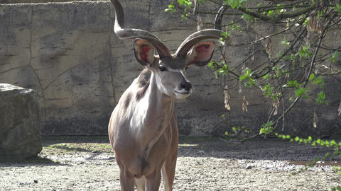 Beautiful antilope with big horns Live Action