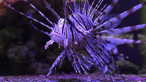 A Zebra-winged, or a Zebra-fish, or a striped winged (Pterois volitans) Footage
