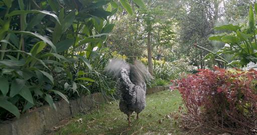 Camera follows a barred rock rooster walking through a beautiful garden ruffling Footage
