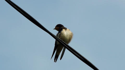 Single Swallow On Wires stock footage