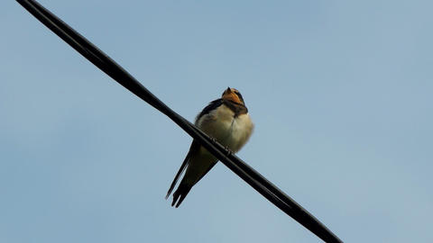 Single swallow on wires Stock Video Footage
