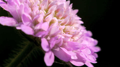 Wild Pink Chrysanthemum Stock Video Footage