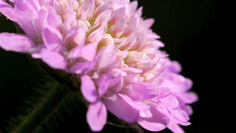 Wild Pink Chrysanthemum Stock Video Footage