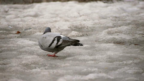 Pigeon  On   Melting   Snow stock footage