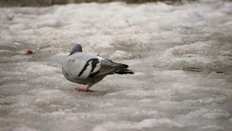 Pigeon on Melting Snow Stock Video Footage