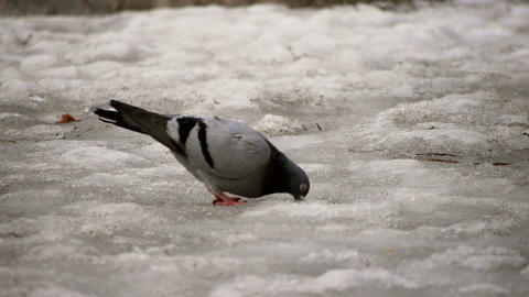 Pigeon on Melting Snow Stock Video Footage