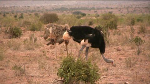 ostriches Stock Video Footage