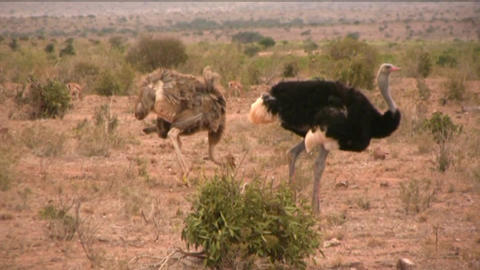 ostriches Animation