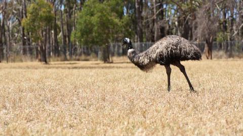 Ostrich Footage