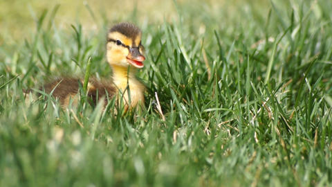 Duck Baby In Grass Stock Video Footage