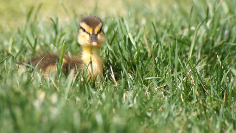 Duck Baby In Grass stock footage