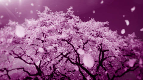 Cheery Blossom Tree 01B Stock Video Footage