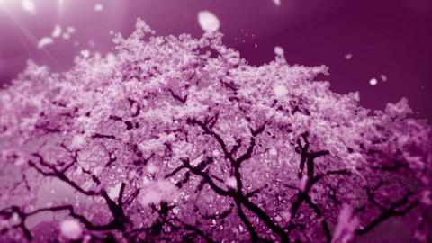 Cheery Blossom Tree 01B Stock Video Footage