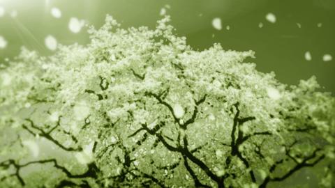Cheery Blossom Tree 01D Stock Video Footage