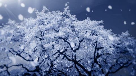 Cheery Blossom Tree 01F Stock Video Footage