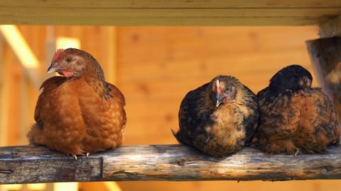 Chicken Stock Video Footage