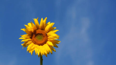 Sunflower And Blue Sky Stock Video Footage