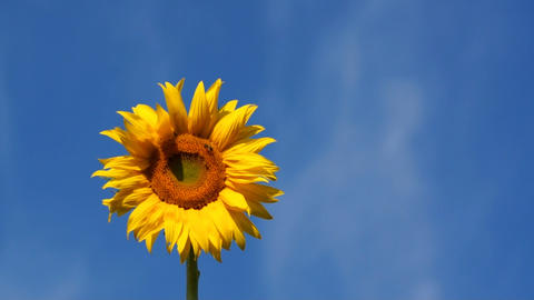 Sunflower And Blue Sky Footage