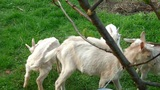 Goat Family In The Field stock footage