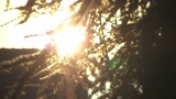 Pine Tree Silhouette - Movement And Sun Glares stock footage