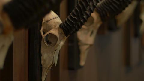 Hunted Chamois Skulls on Wall Footage