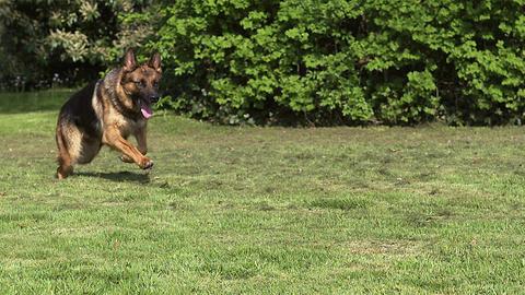 Domestic Dog, German Shepherd Dog, Female running on Grass, Slow motion Footage