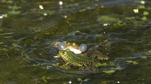 Edible Frog, rana esculenta, Males Leaping, Male calling with inflated vocal sacs, Pond in Normandy Live Action