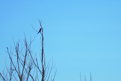 Magpie on a branch of a dry tree フォト