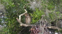 Great Horned Owl perches Footage