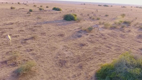 camels in the Arabian desert (aerial view) Footage