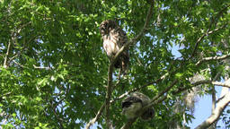 Barred Owl with an owlet Footage