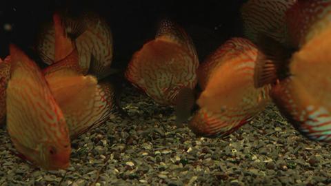Bright fish discus swim in the aquarium Footage