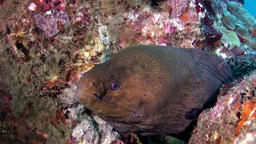 Moray eel dangerous underwater on seabed in Maldives Footage