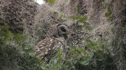 Barred Owl with its prey Footage