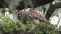 Barred Owl eating its prey Footage