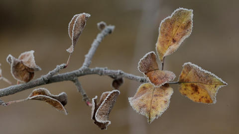 Red Leaves Covered with Frost Footage
