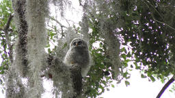 Baby Barred Owl Footage