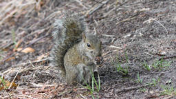 gray squirrel eating Footage