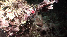 Striped poisonous fish Common lionfish Pterois volitans on bottom of Red sea Footage